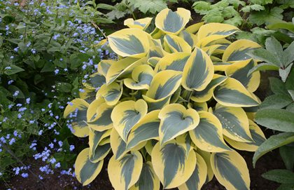 Shadowland Autumn Frost Hosta, Hosta Plant, Proven Winners Proven Winners Sycamore, IL