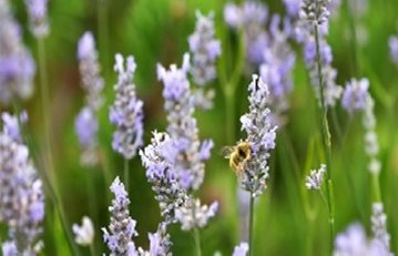 Provence Lavender, Lavandula Intermedia The Grower's Exchange Charles City, VA