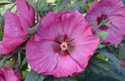 Summerific Berry Awesome Hibiscus, Hibisicus, Proven Winners Proven Winners Sycamore, IL