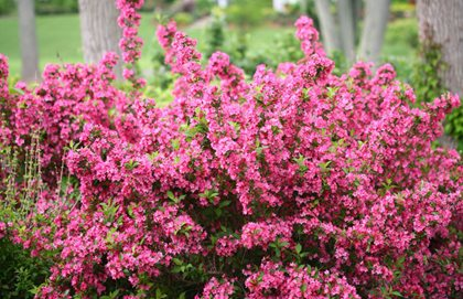 Sonic Bloom Weigela, Weigela, Shrub, Proven Winners Proven Winners Sycamore, IL