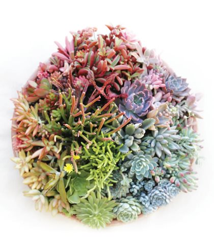 Succulent Arrangement, Color Wheel Debra Lee Baldwin San Diego, CA