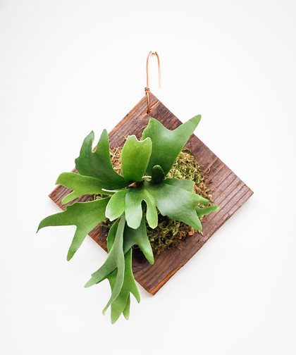 Staghorn Fern Plaque, Mounted Staghorn Fern Pistils Nursery Portland, OR
