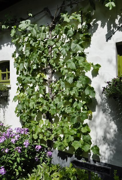 Grape Vine Espalier