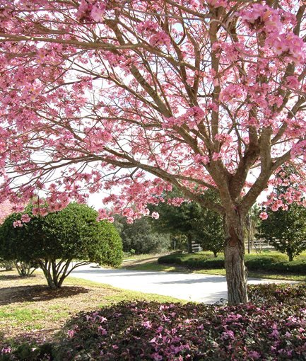 Pink Trumpet Tree Em Tabebuia Impetiginosa Photo