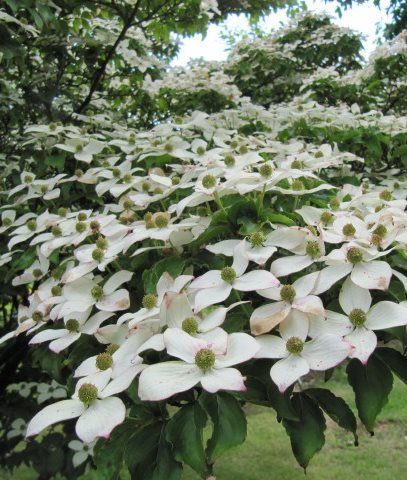 KOUSA DOGWOOD <em>(Cornus kousa)</em> - Photo by: Leonora (Ellie) Enking / Flickr.