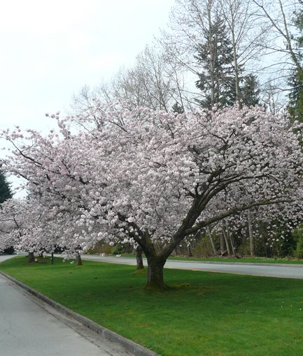 FLOWERING CHERRY (<em>Prunus ×yedoensis</em> 'Akebono') - Photo by: Vancouver Cherry Blossom Festival / Flickr.