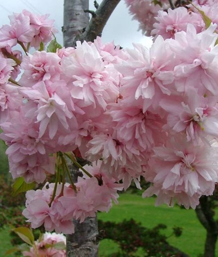 FLOWERING CHERRY (<em>Prunus ×'Extrazam'</em> 'Weeping Extraordinaire&trade;') - Photo by: Proven Winners.