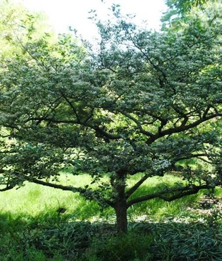 CRUSADER HAWTHORN - Photo by: Proven Winners.