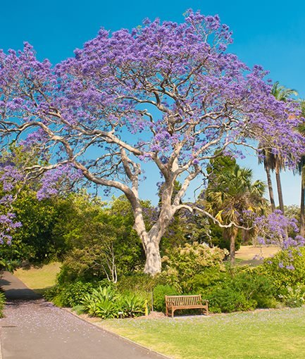 JACARANDA (<em>Jacaranda mimosifolia</em>) - Photo by: Fyle / Adobe Stock.