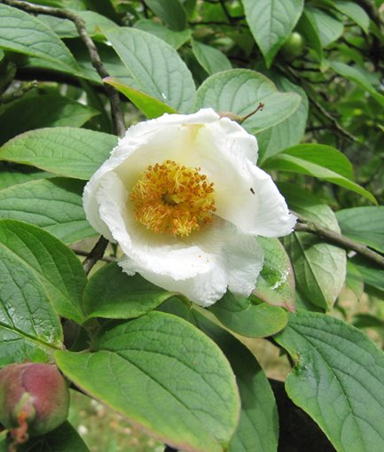 JAPANESE STEWARTIA (<em>Stewartia pseudocamellia</em>) - Photo by: Leonora (Ellie) Enking / Flickr.