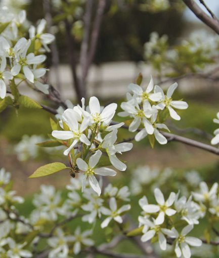 SPRING GLORY SERVICEBERRY (<em>Amelanchier canadensis</em>) - Photo by: Proven Winners