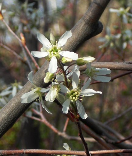 SERVICEBERRY<em> (Amelanchier </em>'Autumn Brilliance') - Photo by: Andrey Zharkikh.