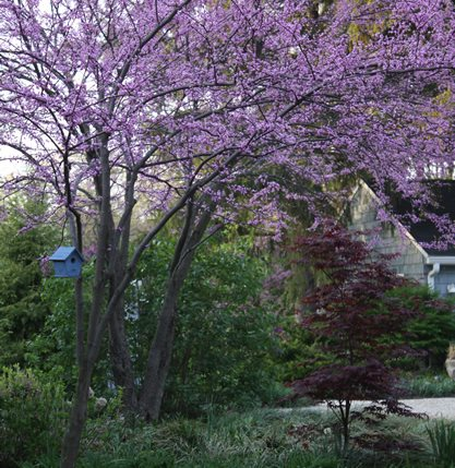Eastern redbud trees - Photo by: Anna Brooks.