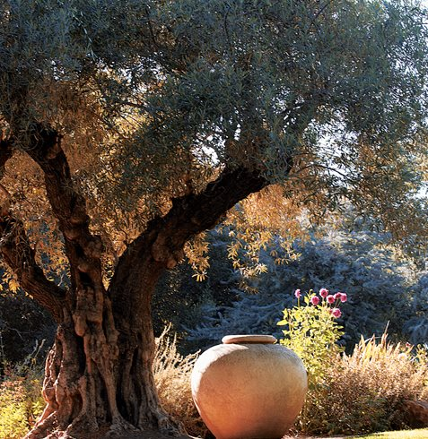 Mature olive tree - Photo by: Shaun Sullivan.