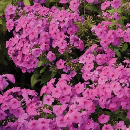 erfly Garden Plants   Garden Design on