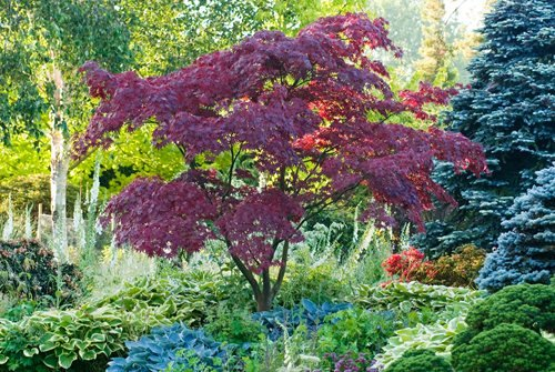 Caring for japanese maple trees garden design for Garden design with japanese maple