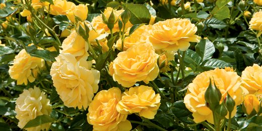 Caring For Roses A Beginner S Rose Growing Guide Garden Design