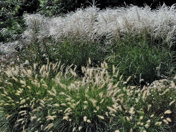 Fountain Grass - Photo by: Pam Penick.