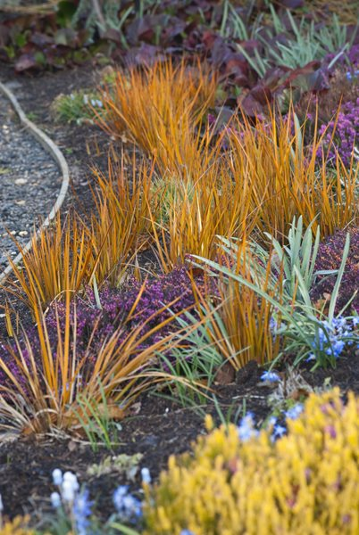 Gold Leaf Grass, Border Design a Winter Garden that Combines Toughness, Color & Texture Bressingham Gardens Norfolk, England