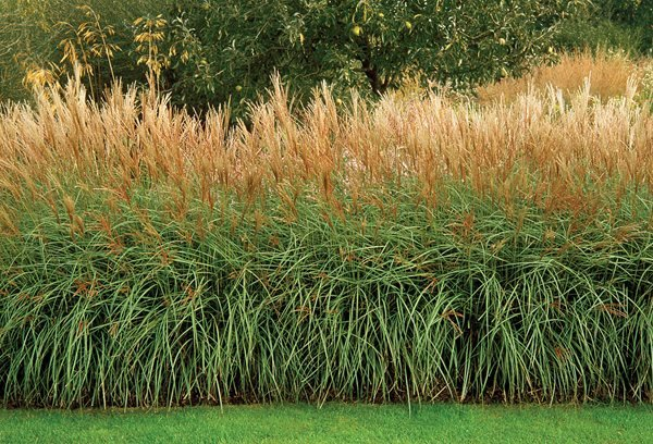 Glorious hedges gallery garden design for Hardy perennial ornamental grasses