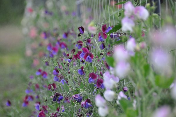 Notes from a Flower Farm: Growing and Arranging Sweet Peas Garden Design Calimesa, CA