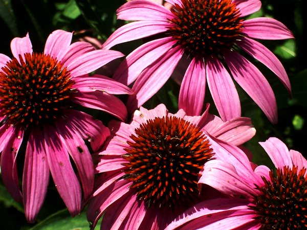 Echinacea, Pink Bloom My Garden: Growing Locally and Sustainably in Chicago Garden Design Calimesa, CA