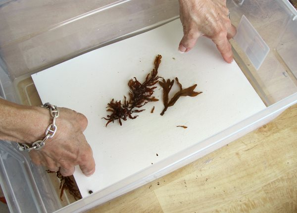 How to Press and Preserve Seaweed  Garden Design Calimesa, CA