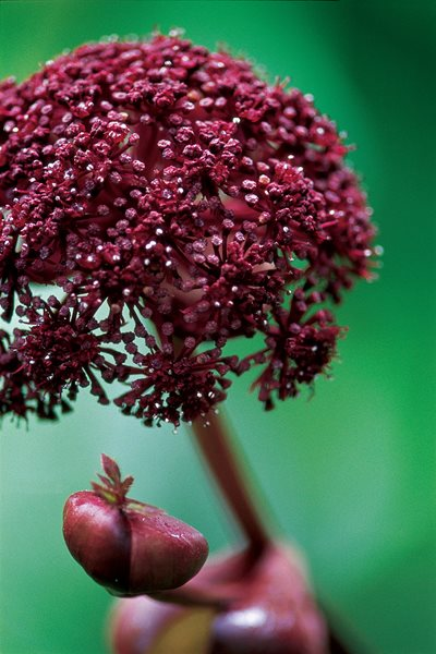 Angelica Gigas, Korean Angelica I Love This Plant Garden Design Calimesa, CA