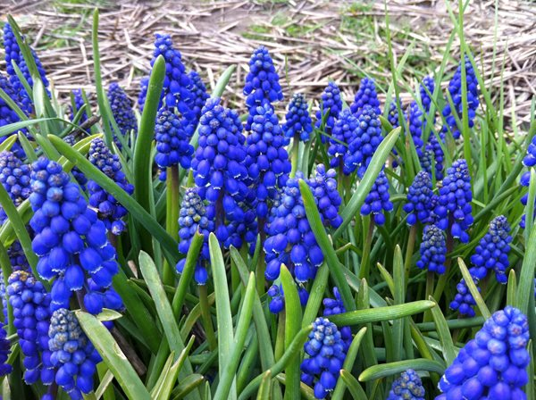 Notes from a Flower Farm: Muscari for Mother's Day Garden Design Calimesa, CA