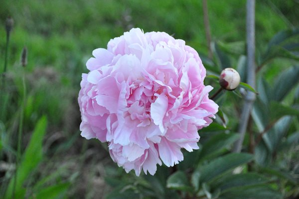 Notes from a Flower Farm: Peonies and Garden Roses Garden Design Calimesa, CA