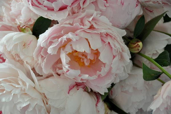 Peonies and Garden Roses Gallery Garden Design