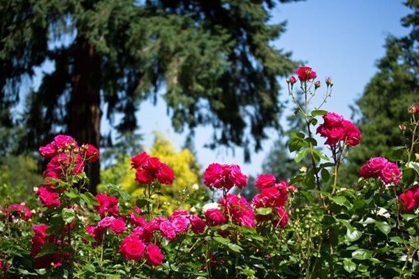 Portland's International Rose Test Garden Garden Design Calimesa, CA