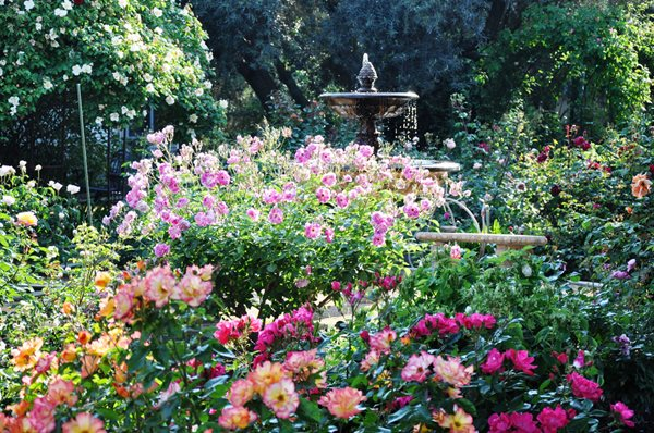 Rose Extravaganza in an Olive Grove Christopher Whelan (Homeowner) San Joaquin Valley, CA