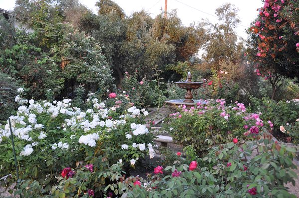 Rose Extravaganza in an Olive Grove Gallery Garden Design