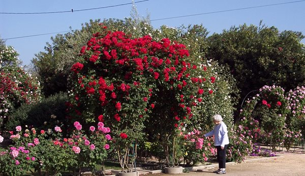 Rose Extravaganza in an Olive Grove Garden Design Calimesa, CA