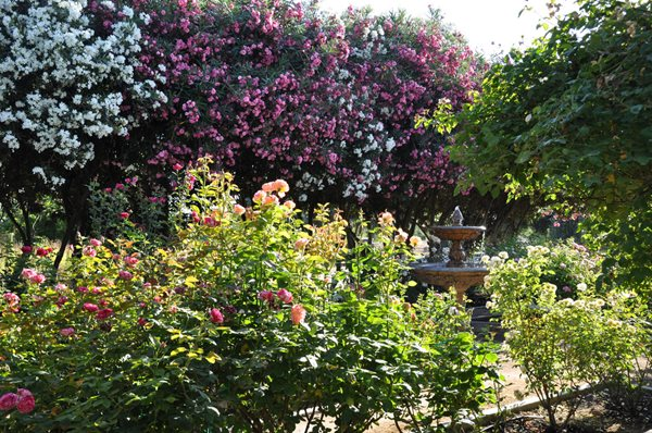 My Garden: Rose Extravaganza in an Olive Grove Garden Design Calimesa, CA