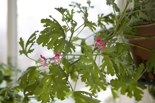 Rose Scented Geraniums Gallery Garden Design