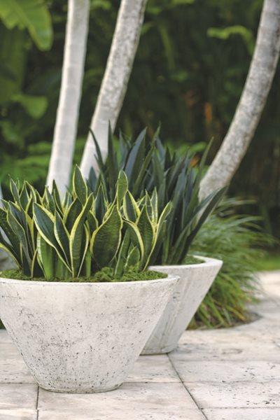 Sansevierias Gallery Garden Design