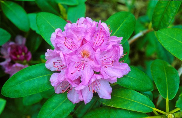 Scenic Route: Visiting Rhododendrons Greer Gardens Eugene, OR
