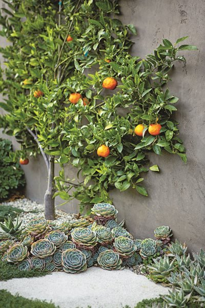 Citrus Tree, Tangerines, Succulents, Espalier Succulent and Cacti Pictures Scott Shrader West Hollywood, CA