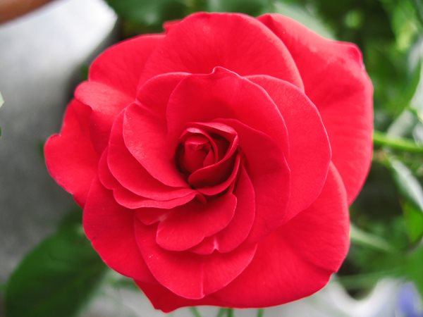 The Meaning Of A Rose Gallery Garden Design