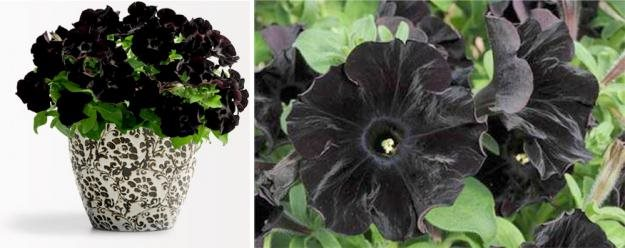 The Blackest Flower Garden Design