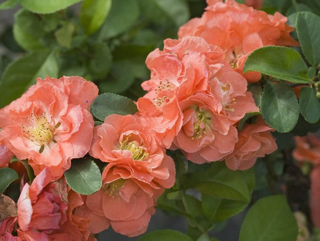 "Double Take Peach Quince, Coral Flowers, Quince ""Dream Team's"" Portland Garden Proven Winners Sycamore, IL"