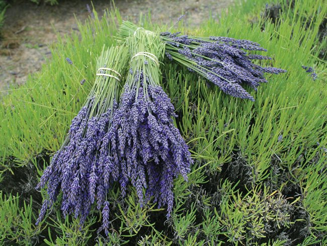 "Lavender Bundles, Drying Lavender ""Dream Team's"" Portland Garden St. Lynn's Press Pittsburgh, PA"