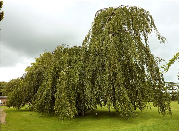 "Weeping-Beech ""Dream Team's"" Portland Garden Garden Design Calimesa, CA"