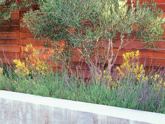 Arid Plants, Olive Tree, Kangaroo Paw Ground Studio Monterey, CA