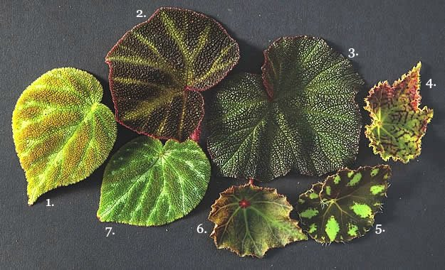 Best Begonia Varieties and Care Information | Garden Design