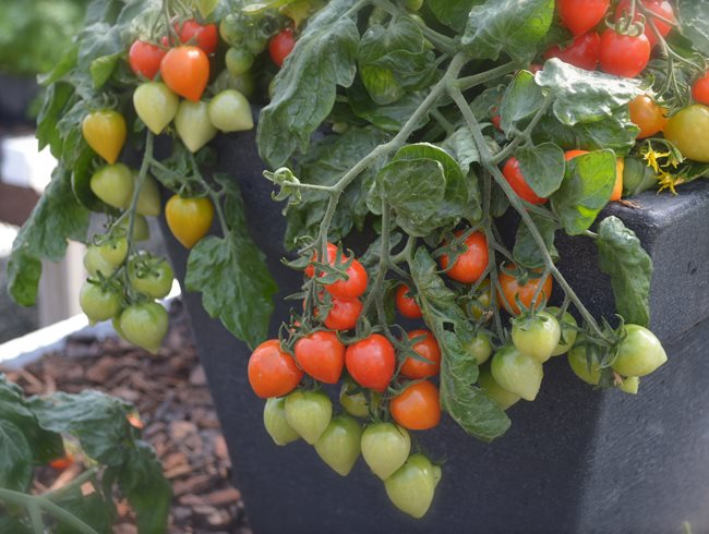 Top garden trends for 2016 garden design Tomato garden design