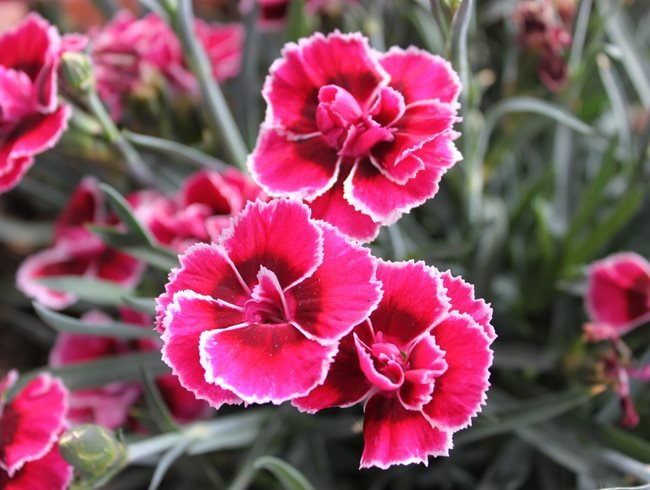 Dianthus, Flowers, Pruning Pixabay ,