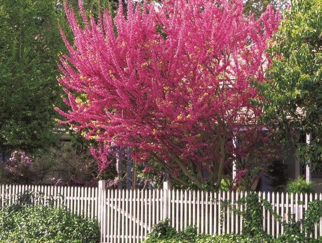 Eastern Redbud Tree Facts And Care Info Garden Design
